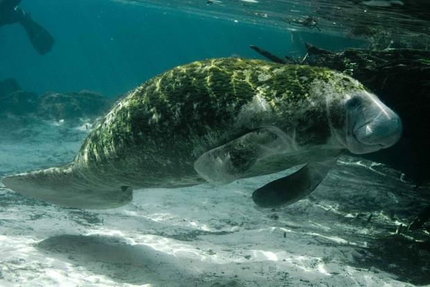 1024px-Trichechus_manatus_latirostris_manatee_underwater_animal